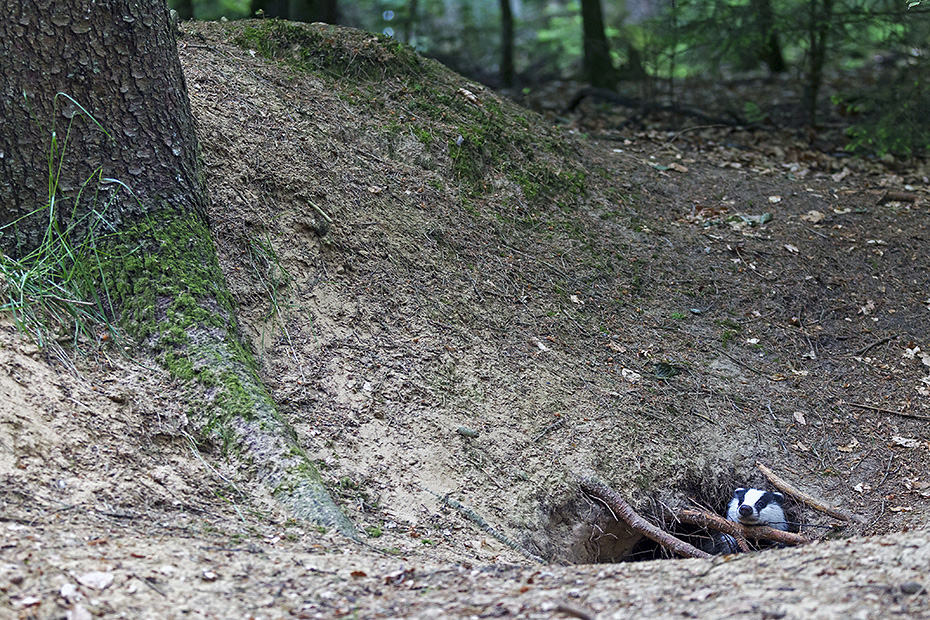 Dachs, grosse Dachsburgen werden ueber viele Generationen genutzt  -  (Europaeischer Dachs - Foto Dachs faehrt vorsichtig aus dem Bau), Meles meles, European Badger, the large setts they construct are passed from generation to generation  -  (Eurasian Badger - Photo Badger back view)