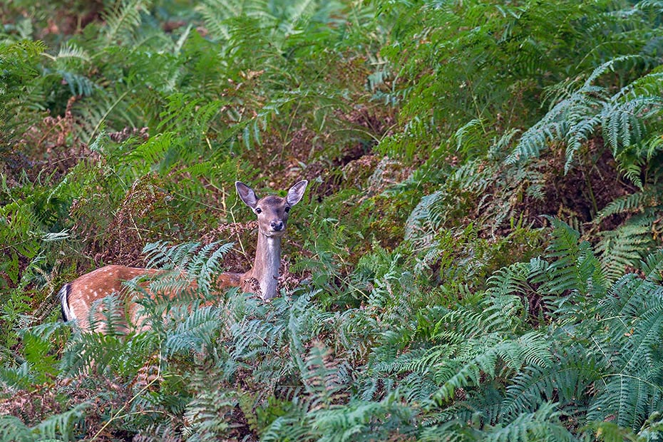 Damhirsch, weibliche Tiere koennen in einem Alter von 18 Monaten erstmalig gedeckt werden - (Foto Damtier in einem Farndickicht), Dama dama, Fallow Deer, does can breed at a year and a half - (Photo doe in a fern thicket)