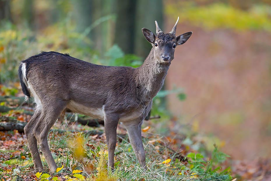 Damwild, die maennlichen Tiere sind mit 18 Monaten geschlechtsreif - (Foto Damhirschspiesser), Dama dama, Fallow Deer, a male reaches maturity at 18 months - (Photo brocket)