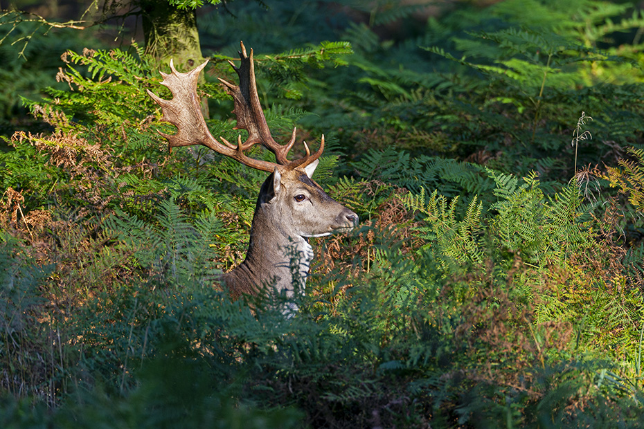 Damwild, in Norddeutschland beginnt die Brunft Anfang Oktober und erreicht Mitte Oktober ihren Hoehepunkt  -  (Foto Damhirsch in der Brunft), Dama dama, Fallow Deer, in North Germany the rut starts in early October and peaks in mid October  -  (Photo buck in the rut)