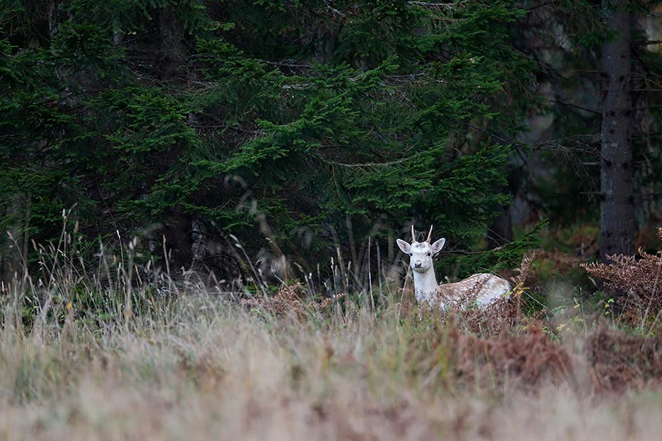 Damwild, die maennlichen Tiere sind mit 18 Monaten geschlechtsreif - (Foto Damhirschspiesser in Schweden), Dama dama, Fallow Deer, a male reaches maturity at 18 months - (Photo Fallow Deer brocket in Sweden)