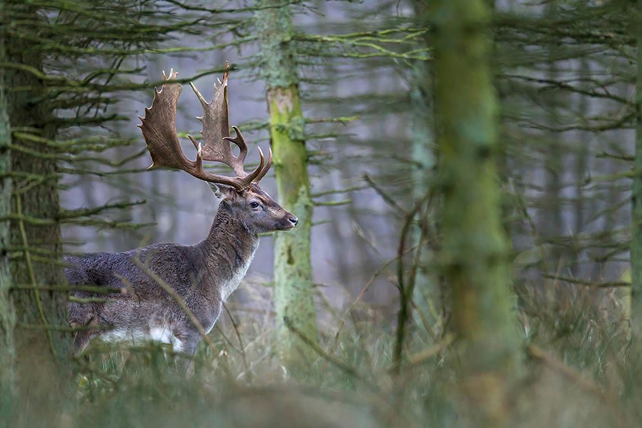 Damhirsch, die Abwurfzeit der Geweihe beginnt je nach Region von Anfang bis Ende April - (Foto Damhirsch), Dama dama, Fallow Deer, the antlers are shed in April - (Photo buck)