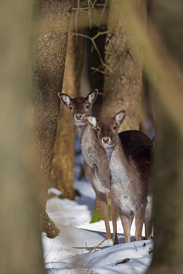 Damhirsch, ausserhalb der Brunft leben die Tiere in nach Geschlechtern getrennten Rudeln - (Foto Damtiere im Winter), Dama dama, Fallow Deer, outside the rut, both sexes live in single groups - (Photo does in winter)