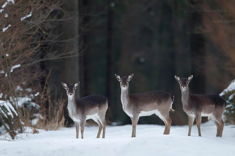 Damhirsch, ausserhalb der Brunft leben die Tiere in nach Geschlechtern getrennten Rudeln - (Foto Damtiere und Kalb im Winter), Dama dama, Fallow Deer, outside the rut, both sexes live in single groups - (Photo does and fawn in winter)