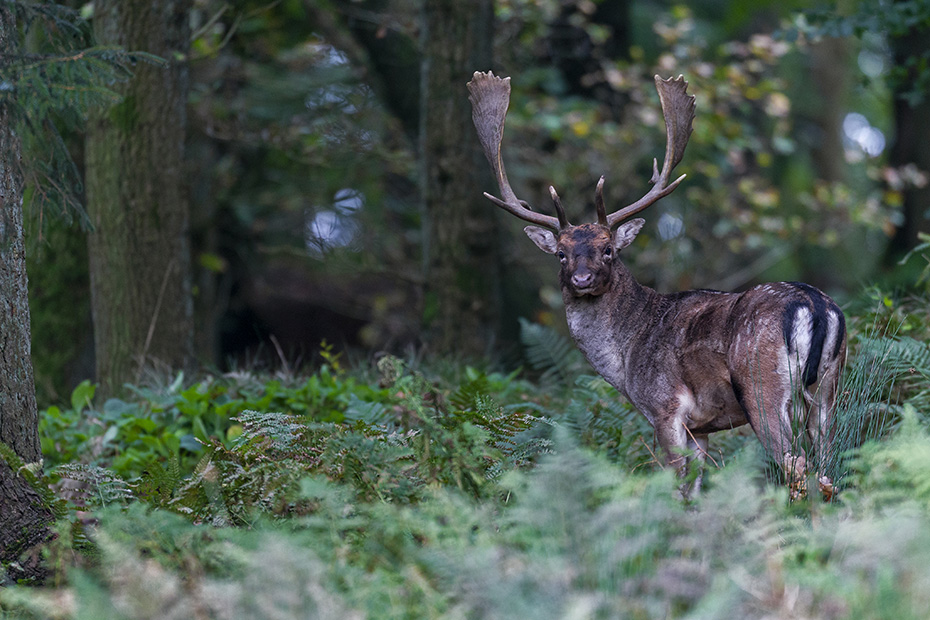Damwild, die Hirsche leben ausserhalb der Brunft in separaten Rudeln, getrennt von den Rudeln der Weibchen und ihren Kaelbern - (Foto Damhirsche im Winter), Dama dama, Fallow Deers live in two different groups, does with fawns and yearlings, and bucks living alone and will come together during the rut - (Photo bucks in winter)