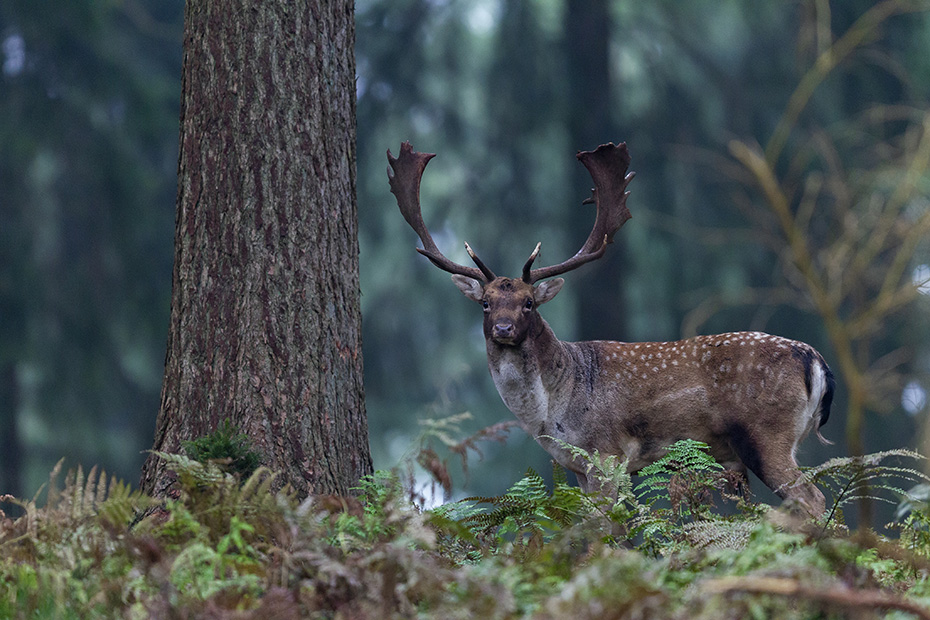 Damwild, in den ersten Lebenstagen wird das Kalb in dichter Vegetation abgesetzt und nur zum Saeugen aufgesucht - (Foto Damtier), Dama dama, Fallow Deer, fawns spend the first two weeks of their life lying hidden in vegetation, where their mothers visit them for feeding - (Photo doe)