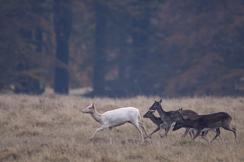 Damhirsch, die Faerbung des Fells ist sehr variabel, auch schwarze und weisse (keine Albinos) Fellfarben sind nicht selten - (Foto Damtiere und Kaelber wechseln zum Hauptbrunftplatz), Dama dama, Fallow Deer, there are four main variations in coat from white to black, many minor variations also exist - (Photo Fallow Deer does and fawns walk to the main rut place)