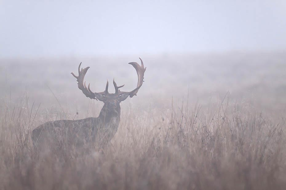 Damwild, in Norddeutschland beginnt die Brunft Anfang Oktober und erreicht Mitte Oktober ihren Hoehepunkt - (Foto Damhirsch im Morgennebel), Dama dama, Fallow Deer, in North Germany the rut starts in early October and peaks in mid October - (Photo buck in morning fog)