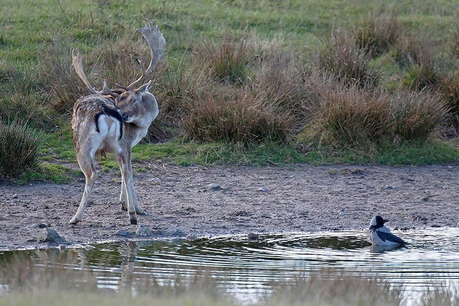 Damhirsch, die Weibchen sind deutlich kleiner als die Maennchen - (Foto Damhirsch und Nebelkraehe), Dama dama - Corvus corone (cornix), Fallow Deer, the females are much smaller than males - (Photo Fallow Deer buck and Hooded Crow)