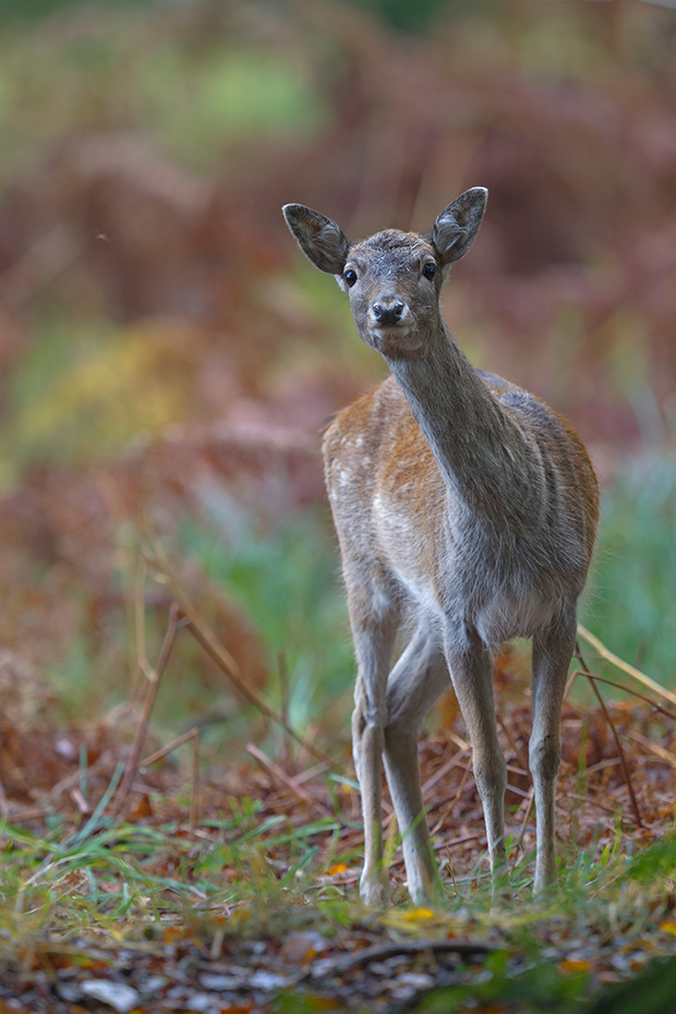 Damhirsch, die Weibchen geben bei Gefahr einen eindringlichen Belllaut von sich  -  (Foto Damtier waehrend der Damwildbrunft), Dama dama, Fallow Deer, does give a short bark when alarmed  -  (Photo doe in the rut)