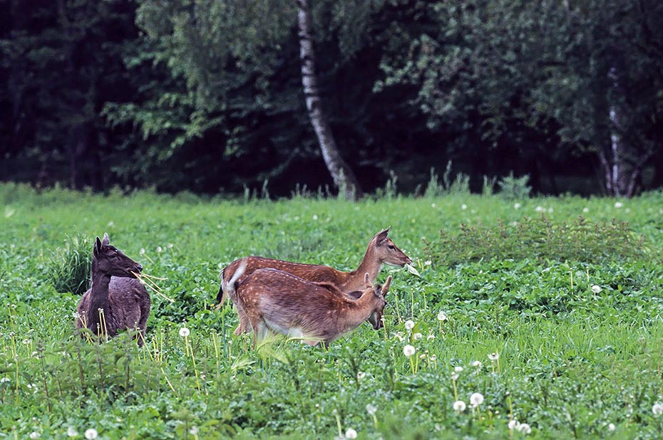 Damhirsch, weibliche Tiere koennen in einem Alter von 18 Monaten erstmalig gedeckt werden - (Foto Damtiere und Spiesser im Fellwechsel), Dama dama, Fallow Deer, does can breed at a year and a half - (Photo does and brocket in change of coat)