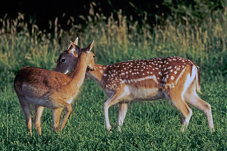 Damhirsch, weibliche Tiere setzen in der Regel im Juni nur ein Kalb - (Foto Damtier und Kalb), Dama dama, Fallow Deer, single fawns born mainly in June - (Photo doe and fawn)