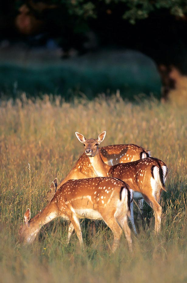 Damhirsch, weibliche Tiere koennen in einem Alter von 18 Monaten erstmalig gedeckt werden - (Foto Damtiere im Abendlicht), Dama dama, Fallow Deer, does can breed at a year and a half - (Photo does in evening light)