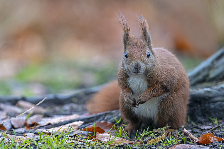 Aufmerksamkeit garantiert dem Eichhoernchen ein laengeres Leben, denn viele Fressfeinde hat es zu fuerchten, an solch freien Plaetzen droht eine besonders grosse Gefahr durch den Habicht, Sciurus vulgaris, Attention guarantees the Red Squirrel a longer life, because it has to fear many predators, in such free places there is a particularly great danger from the Goshawk