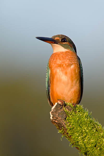 Eisvogel - (Weibchen), Alcedo atthis, River Kingfisher - (female)