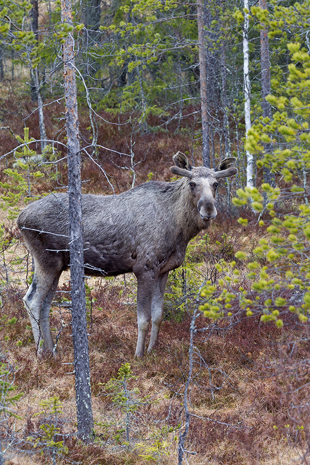 Elch, in Nordamerika werden mehr Menschen von Elchen verletzt, als von allen anderen Wildtieren  -  (Foto Elchbulle mit Bastgeweih), Alces alces - Alces alces (alces), Moose in North America, they injure more people than any other wild mammal  -  (Photo bull Moose with velvet-covered antlers)