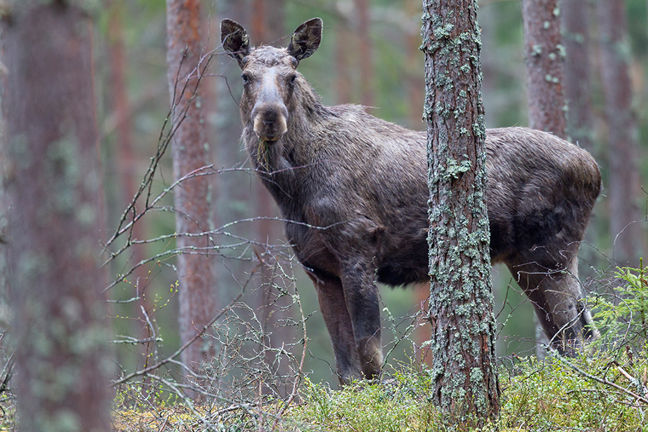 Elche wandern aus Osteuropa kommend, regelmaessig nach Ostdeutschland und Sueddeutschland  -  (Foto junger Elchbulle), Alces alces - Alces alces (alces), Moose migrated from Eastern Europe into Eastern and Southern Germany  -  (Photo young bull Moose)