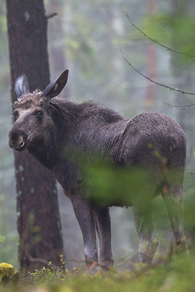 Elch, eine sehr wichtige Nahrungsgrundlage sind Wasserpflanzen  -  (Foto junger Elchbulle), Alces alces - Alces alces (alces), Moose need to consume a good quantity of aquatic plants  -  (Photo young bull Moose)