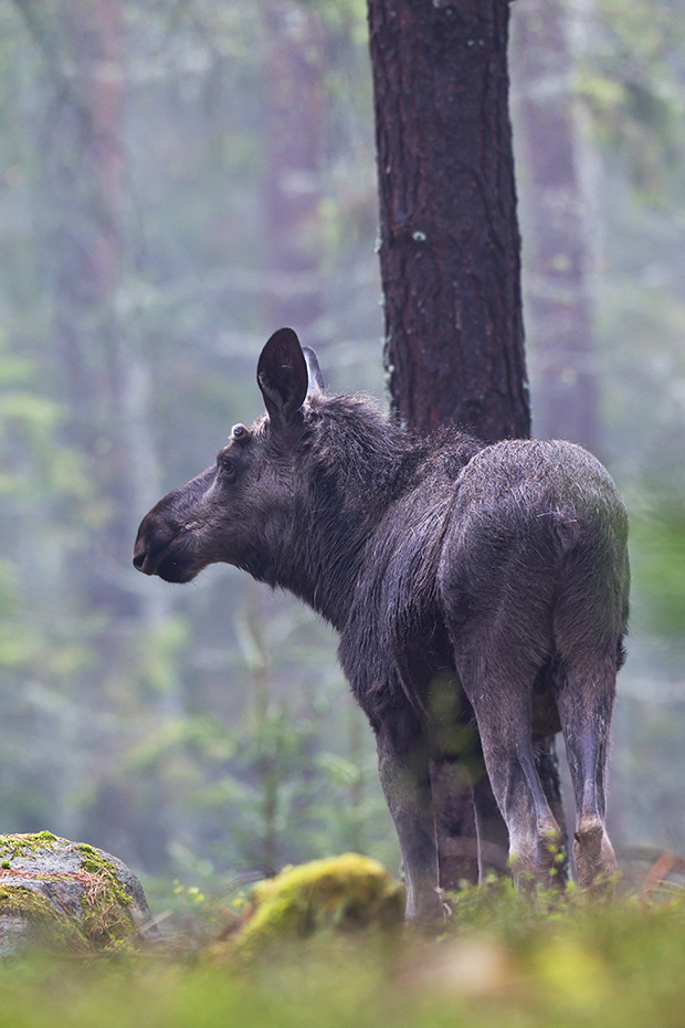 Elche koennen taeglich mehr als 32kg an Nahrung aufnehmen  -  (Foto junger Elchbulle), Alces alces - Alces alces (alces), Moose can eat up to 32kg of food per day  -  (Photo young bull Moose)