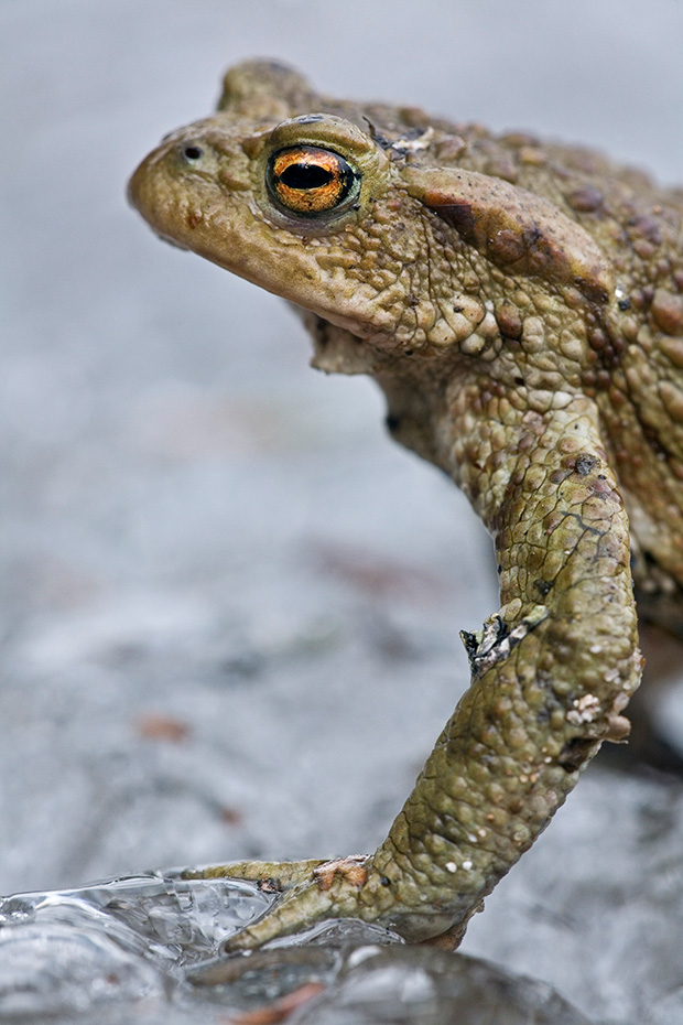 Erdkroete, die Gifte wurden schon im Mittelalter als Heilmittel genutzt  -  (Foto Erdkroete Maennchen am Laichgewaesser), Bufo bufo, European Toad, the main toxic substance called bufotoxin  -  (Common Toad - Photo European Toad male)