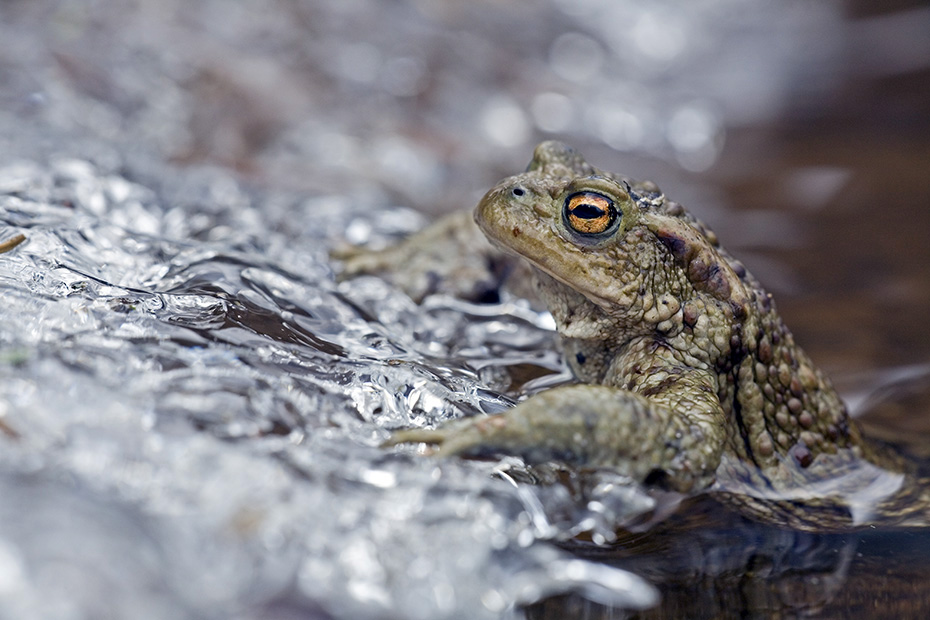 Erdkroete, die Hautdruesen produzieren giftige Sekrete  -  (Toosche - Foto Erdkroete Maennchen ruht an einer Eiskante), Bufo bufo, Common Toad, the cutaneous glands produce toxic secretions  -  (European Toad - Photo Common Toad male in April on spawning water)