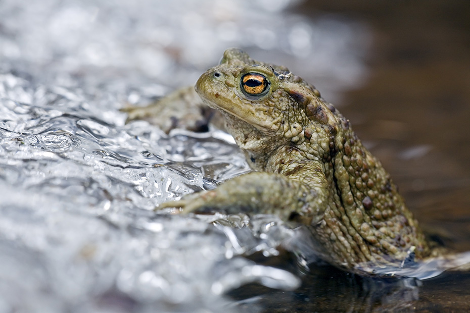 Erdkroete, in vielen Populationen herrscht ein starker Ueberfluss an Maennchen  -  (Foto Erdkroete Maennchen am Laichgewaesser), Bufo bufo, European Toad, the females can reach about 15cm in length  -  (Common Toad - Photo European Toad male)