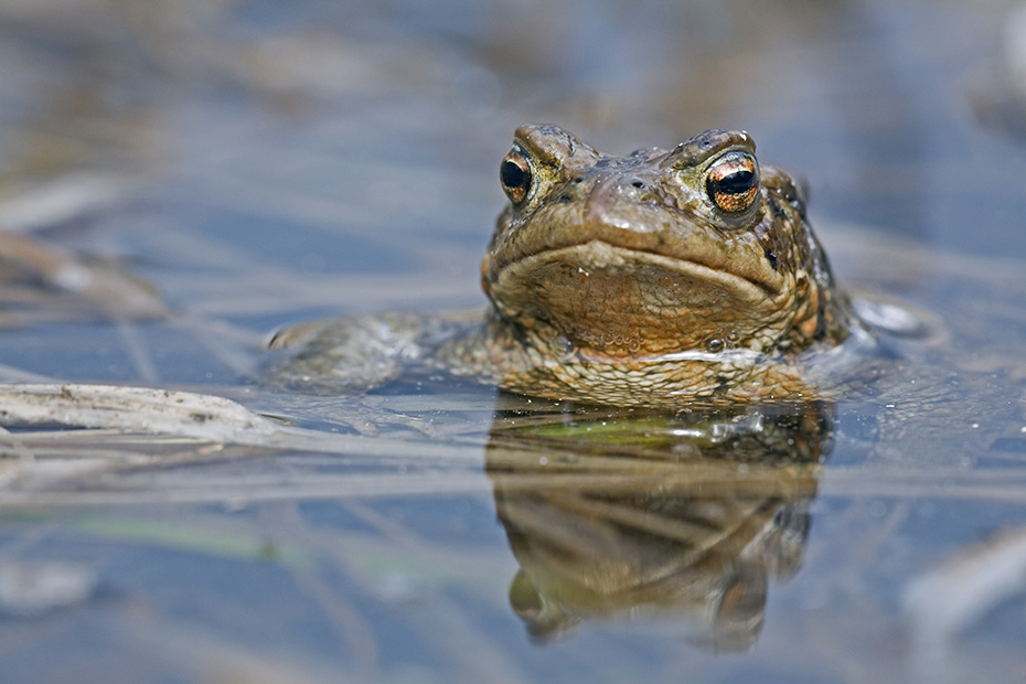Erdkroete, die Maennchen erreichen vor den Weibchen das Laichgewaesser  -  (Foto Erdkroete Maennchen am Laichgewaesser), Bufo bufo, European Toad, the males arrive first the breeding sites  -  (Common Toad - Photo European Toad male)