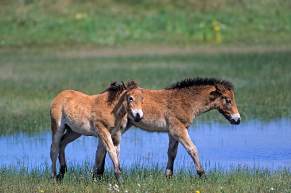 Exmoor-Pony - Fohlen spielen an einem Duenensee - (Exmoor Pony), Equus ferus caballus, Exmoor Pony foals playing at a lake in the dunes