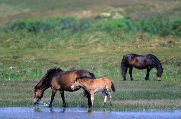 Exmoor-Pony - Stute und Fohlen am Ufer eines Duenensees - (Exmoor Pony), Equus ferus caballus, Exmoor Pony mare and foals at a lake in the dunes