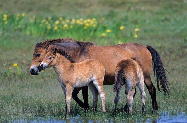 Exmoor-Pony - Stute saeugt Fohlen am Ufer eines Duenensees - (Exmoor Pony), Equus ferus caballus, Exmoor Pony mare lactating foal at a lake in the dunes