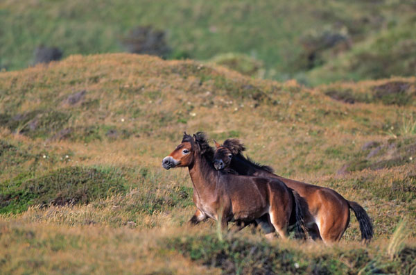 Exmoor-Pony - Hengste spielerisch kaempfend in den Duenen - (Exmoor Pony), Equus ferus caballus, Exmoor Pony stallions playfully fighting in the dunes