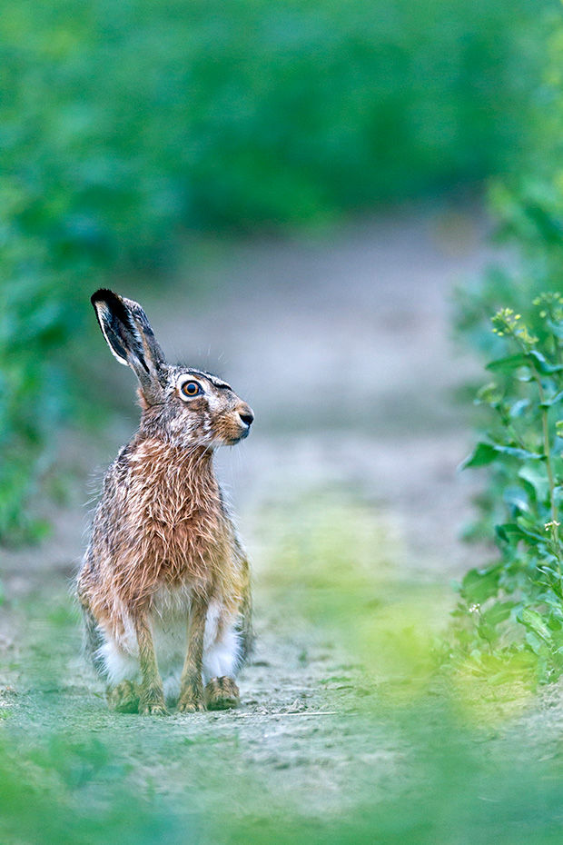 Feldhase in einem Rapsfeld  -  (Europaeischer Feldhase), Lepus europaeus, European Hare in a field of rape  -  (Brown Hare)