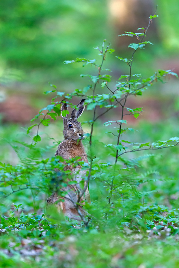Ein Feldhase im Fruehlingswald, trotz ungezaehlter Ansitze sind Begegnungen im Wald mit Fotoerfolg sehr selten, Lepus europaeus, A European Hare in a spring forest, encounters in a forest with photo success are very rare
