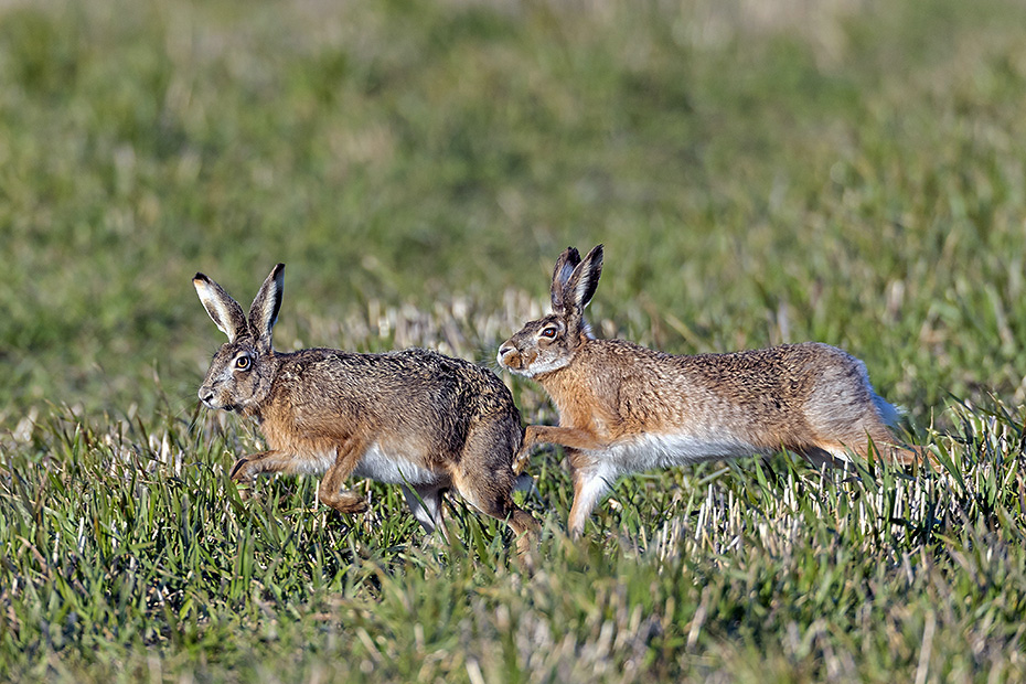 Das Fruehjahr ist eine gute Zeit um Feldhasen in der Paarungszeit zu fotografieren, hier verfolgt ein Rammler eine Haesin, Lepus europaeus, Spring is a good time to photograph European Hares in the mating season, here a buck is chasing a female hare
