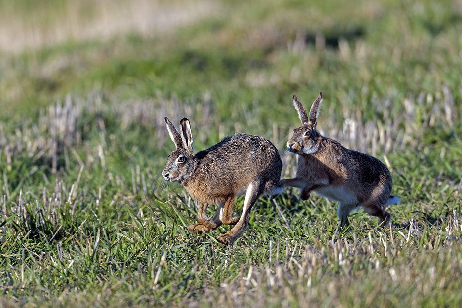 In der Paarungszeit des Feldhasen kaempfen sowohl Maennchen als auch Weibchen mit harten Bandagen, Lepus europaeus, In the mating season of the European Hare, both sexes fight with hard bandages