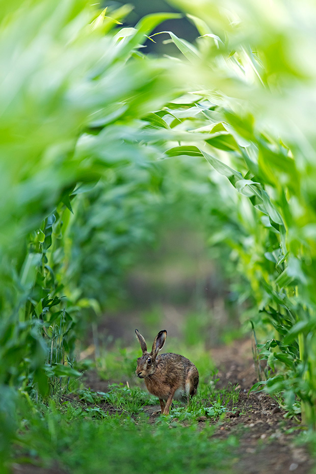 Die ersten Bilder meines neuen Fotoprojekts Tiere im Maisfeld, bislang konnte ich ausschliesslich Feldhasen fotografieren, Lepus europaeus, The first pictures of my new photo project animals in the maize field, so far I could only photograph European Hares