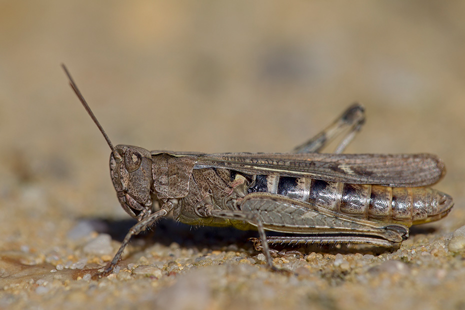 Feldheuschrecken Spezies  -  (Foto Weibchen - Art nicht bestimmbar), Chorthippus species, Grasshopper species - (Photo female - species non-determinable)