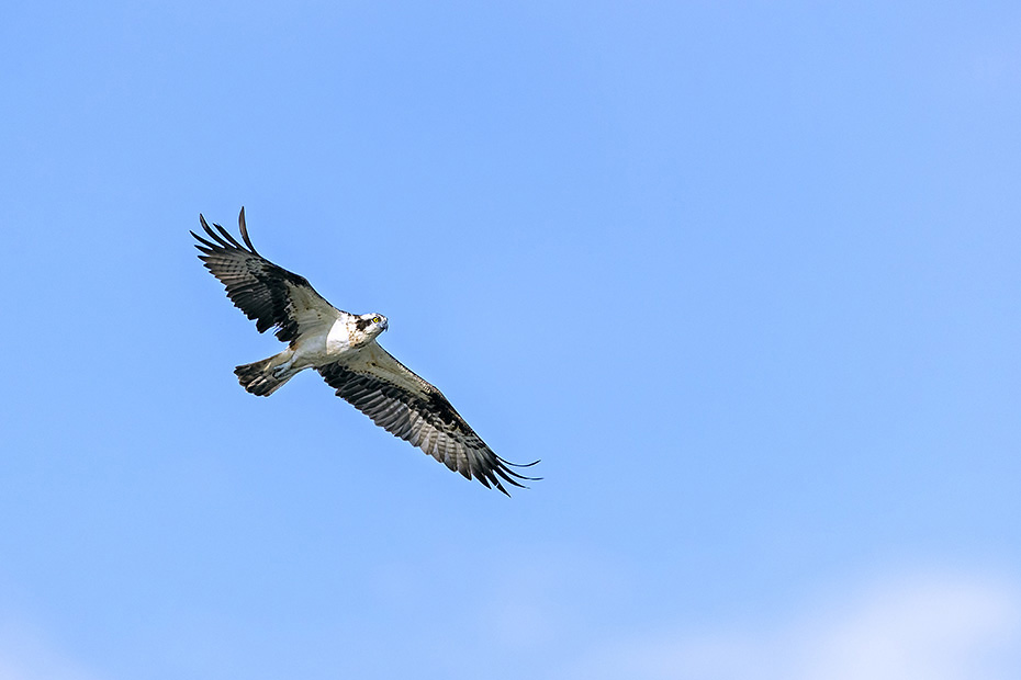 Fischadler sind ausschliesslich auf die Fischjagd spezialisierte Greifvoegel  -  (Foto Fischadler im Flug), Pandion haliaetus, Osprey is a fish-eating bird of prey  -  (Western Osprey - Photo Osprey in flight)