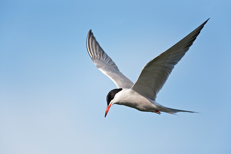 Fluss-Seeschwalben sind sehr aggressiv, wenn es um die Verteidigung des Nests und der Jungvoegel geht  -  (Foto Flussseeschwalbe im Flug), Sterna hirundo, Common Tern is a very aggressive tern, fiercely defense of its nest and young  -  (Photo Common Tern in flight)