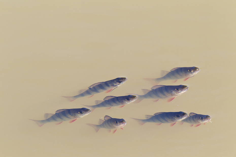 Flussbarsch, ein Alter von 22 Jahren ist belegt  -  (Foto Flussbarsch Jungfische), Perca fluviatilis, European Perch can live for up to 22 years  -  (Redfin Perch - Photo Perch juvenile fish)