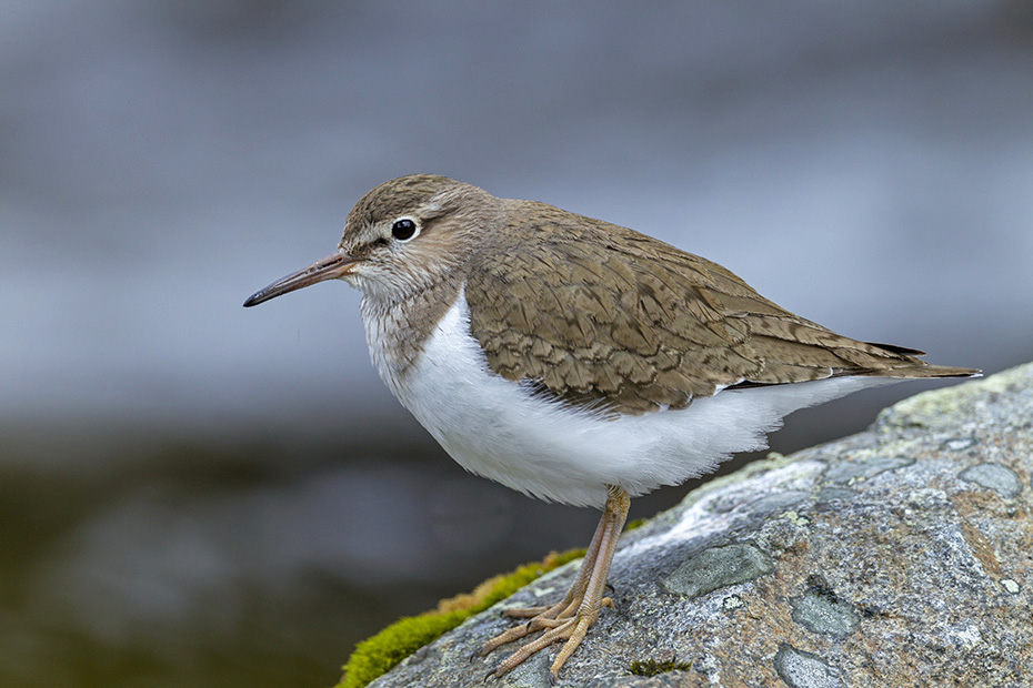 Flussuferlaeufer, die Geschlechter koennen anhand des Gefieders nicht unterschieden werden  -  (Foto Flussuferlaeufer im Brutgebiet), Actitis hypoleucos, Common Sandpiper, the plumage of both sexes look identical  -  (Photo Common Sandpiper in the breeding range)