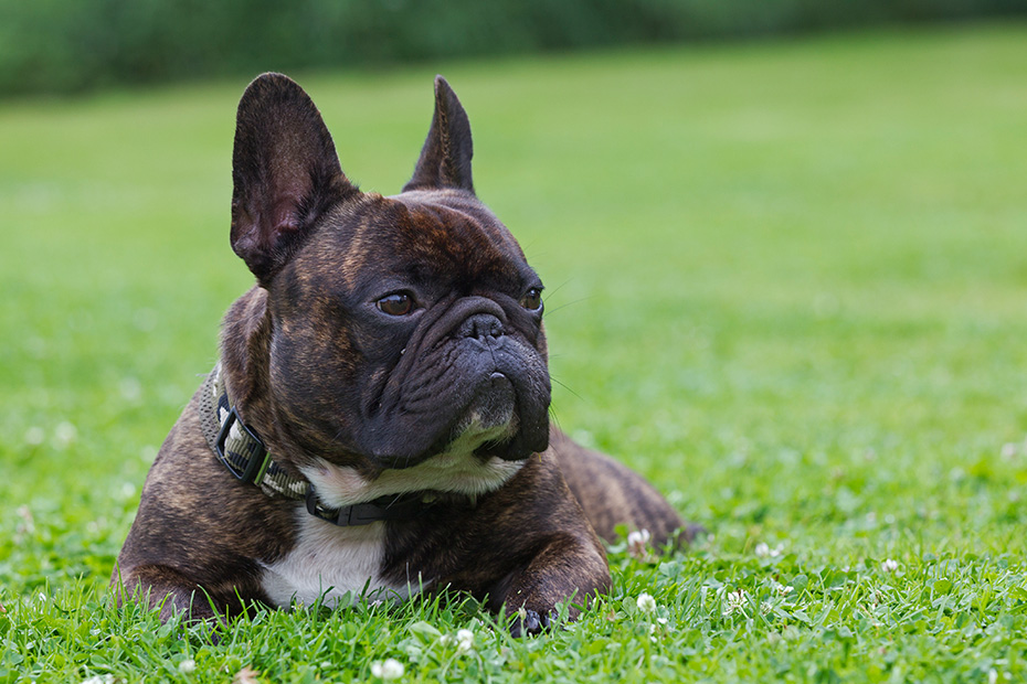 Franzoesische Bulldogge waechst kein Winterfell, deshalb koennen sich die Tiere bei kalter Witterung schnell erkaelten - (Foto Ruede), Canis lupus familiaris, French Bulldog has only a single short coat, that means he becomes cold very easily - (Photo male dog)