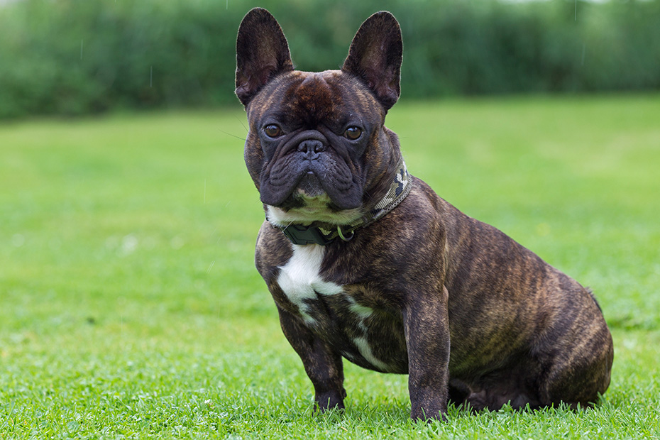 Franzoesische Bulldoggen sind eine sehr populaere Hunderasse, beispielsweise in Grossbritanien und den USA - (Foto Ruede), Canis lupus familiaris, French Bulldog is a very popular dog breed in many countries, for example in the UK and in the USA - (Photo male dog)