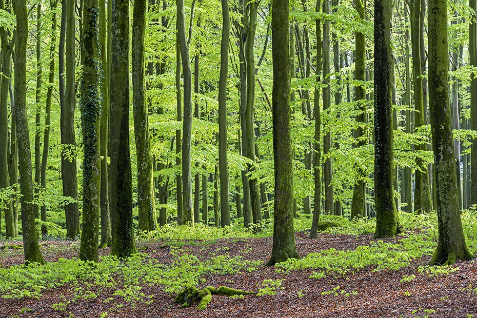 Das frische Gruen der Rotbuchen laesst den Fruehlingswald regelrecht leuchten, Kreis Rendsburg Eckernfoerde - Schleswig-Holstein, The fresh green of the Common Beeches makes the spring forest shine
