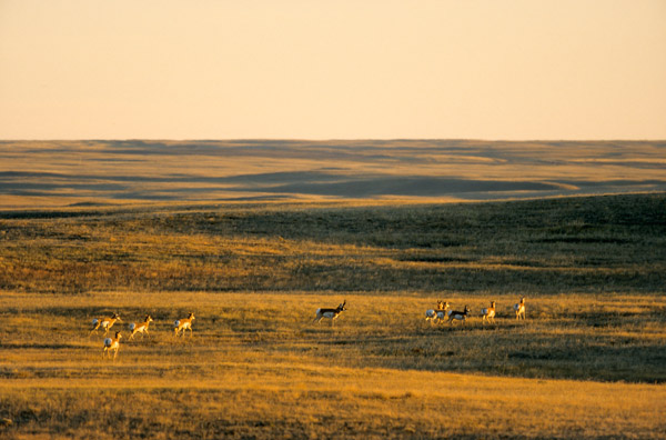 Gabelbock Maennchen & Weibchen im Abendlicht in der kanadischen Praerie - (Gabelhornantilope - Gabelantilope), Antilocapra americana, Pronghorn buck & females running in the evening light over the Canadian Prairie