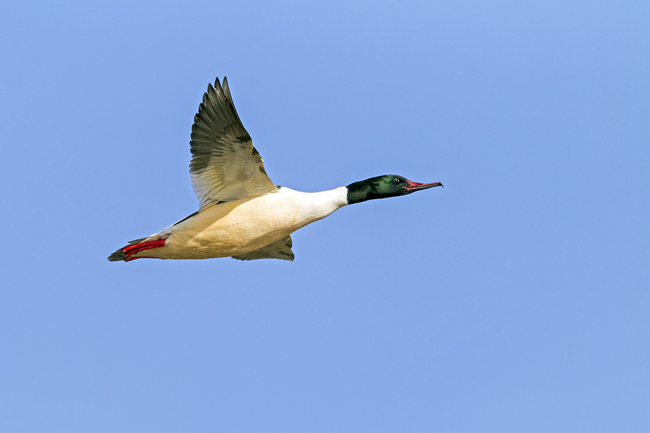 Gaensesaeger, das natuerliche Verbreitungsgebiet umfasst grosse Teile Europas, Nord- und Zentralasiens sowie Nordamerikas  -  (Foto Gaensesaeger Weibchen im Flug), Mergus merganser, Goosander is native to Europe, northern and central Asia and North America  -  (Common Merganser - Photo Goosander female in flight)