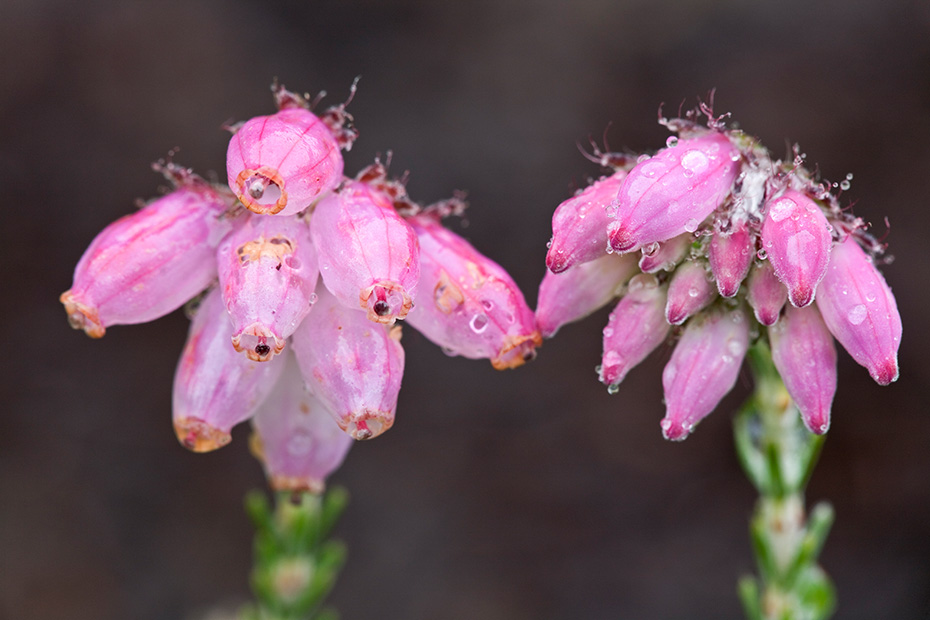 Glocken-Heide, die Bestaeubung erfolgt ueberwiegend durch die sogenannten Gewitterwuermchen  -  (Moor-Glockenheide - Foto Blueten), Erica tetralix, Cross-leaved Heath has small bell-shaped drooping flowers in compact clusters at the ends of its shoots  -  (Bog Heather - Photo blossoms)