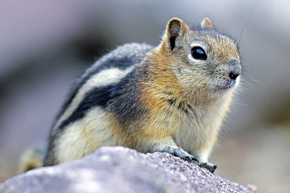 Goldmantelziesel halten Winterschlaf  -  (Goldmantel-Ziesel - Foto Goldmantelziesel in den Kanadischen Rocky Mountains), Callospermophilus lateralis, Golden-mantled Ground Squirrel hibernates over winter  -  (Photo Golden-mantled Ground Squirrel in the Canadian Rocky Mountains)