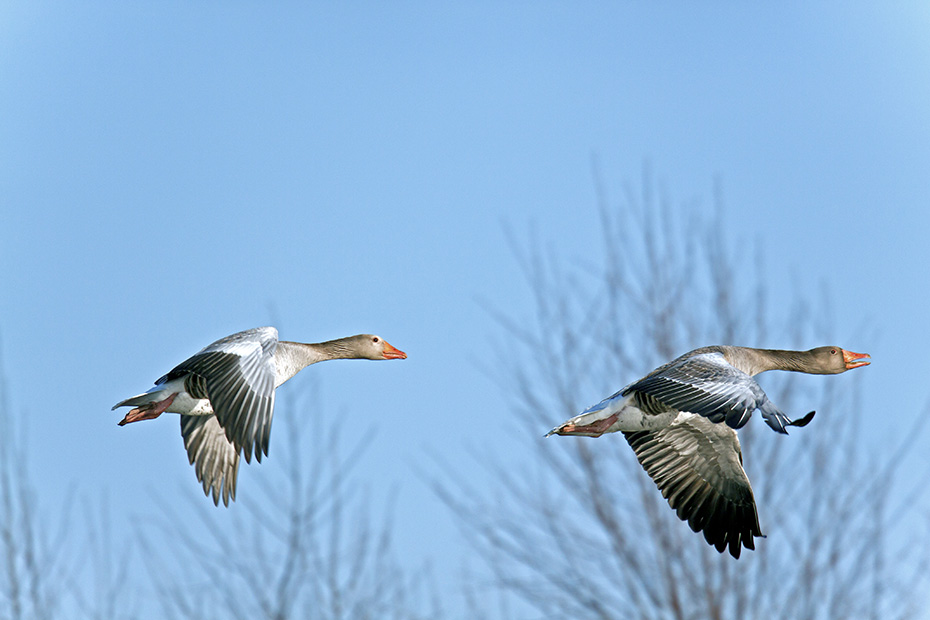 Graugaense gehoeren zu den Tierarten, die vom Menschen sehr frueh domestiziert wurden  -  (Foto Graugans im Flug), Anser anser, Greylag Goose is one of the first domesticated animal species  -  (Graylag Goose - Photo Greylag Goose in flight)