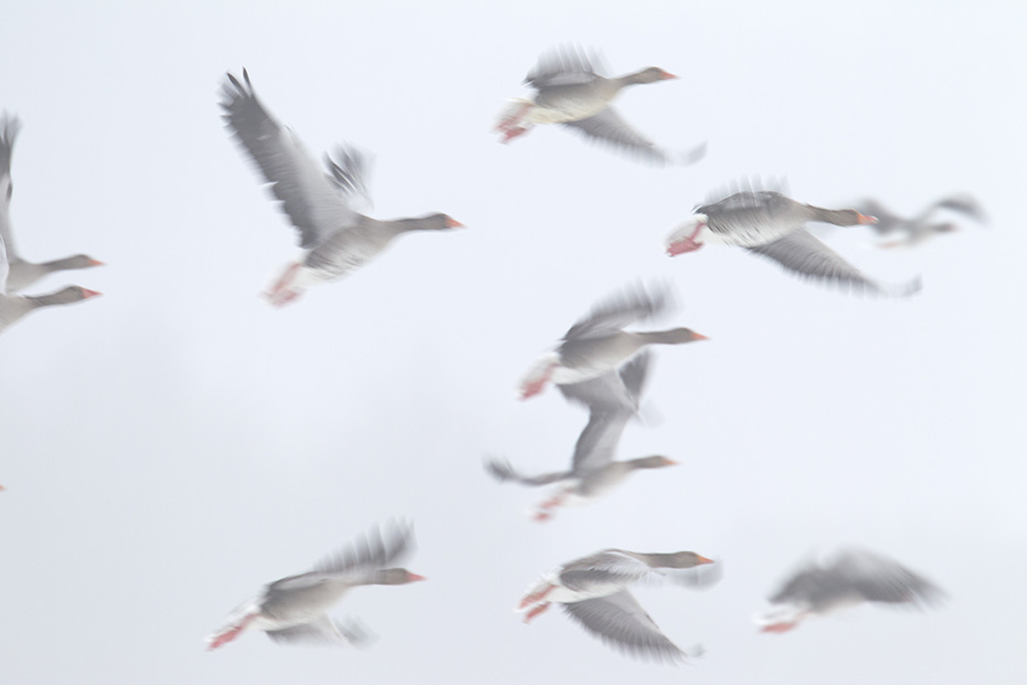 Graugans, das Gelege besteht in der Regel aus 5 -8 Eiern  -  (Foto Grauganspaar im Flug), Anser anser, Greylag Goose, the female lays 5 to 8 eggs  -  (Graylag Goose - Photo Greylag Goose pair in flight)